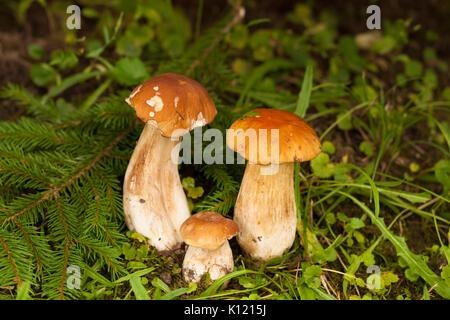 Boletus Edulis. In Forest Under Fir Tree Growing Three Edible Boletus Edulis. Mushroom Boletus Edulis Under Fir - Stock Photo
