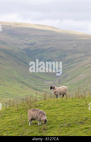 Great Shunner Fell with Sheep in the Yorkshire Dales National Park seen from Cliff Gate Road near Hawes, England, - Stock Photo