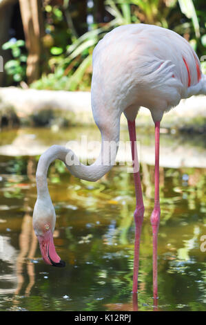 The Greater Flamingo is the most widespread species of the flamingo family. It is found in parts of Africa, southern - Stock Photo