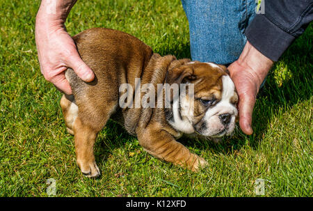 Man's hands holding on the grass, a beautiful, eight weeks old, red English / British bulldog male puppy with a - Stock Photo