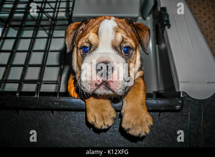 A beautiful, red English / British bulldog male puppy with a white mask, looking out from its pen, with both paws - Stock Photo