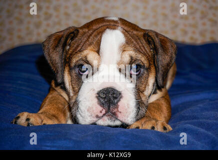 A beautiful, red English / British bulldog male puppy with a white mask, lying on a blue blanket looking into the - Stock Photo