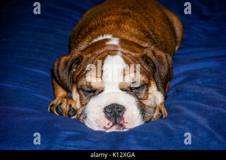 A beautiful, red English / British bulldog male puppy with a white mask, fast asleep on a blue blanket. - Stock Photo