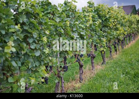 Wine grapes growing in a vineyard belonging to the Prince of Liechtenstein in Vaduz, Principality of Liechtenstein - Stock Photo
