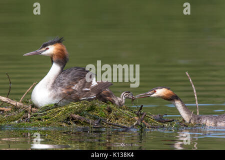 female Great Crested Grebe (Podiceps cristatus) feeding her chick a fish while the male incubates eggs on the nest - Stock Photo