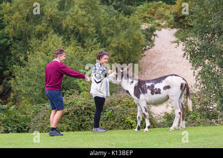 Young couple stroking a donkey at Rockford Common, Linwood, New Forest National Park, Hampshire, England UK - Stock Photo