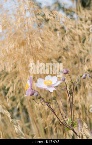 Anemone x hybrida Elegans. Japanese anemone 'Elegans' flowers amongst Stipa gigantea 'Gold Fontaene' grass. Golden - Stock Photo