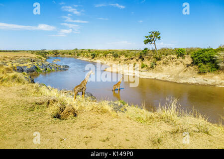 View of landscape with two Masai giraffes (Giraffa camelopardalis tippelskirchi) on the riverbank and crossing in - Stock Photo