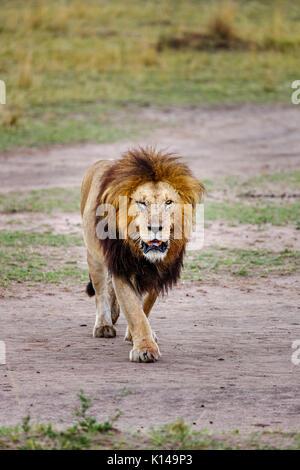 Solitary male Mara lion (Panthera leo) with injured eye purposefully walks towards the camera, in morning light, - Stock Photo