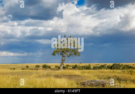 Landscape in savannah grassland in Masai Mara, Kenya with vultures perching in a tree against a cloudy sky with - Stock Photo