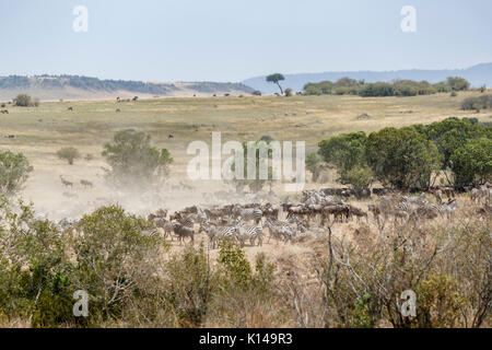 Herds of zebra and wildebeeest congregate at a crossing point on the Mara River in Masai Mara, Kenya - Stock Photo