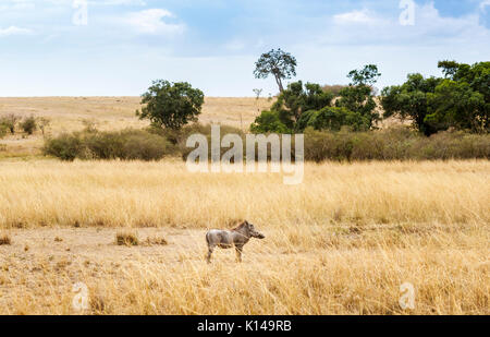Kenyan east African landscape: view of common warthog, Phacochoerus africanus, standing in long dry grass in savannah - Stock Photo
