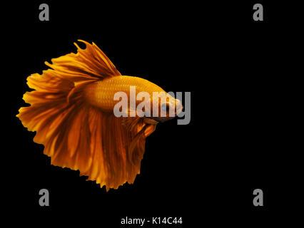 beautiful yellow siamese fighting fish on black background - Stock Photo
