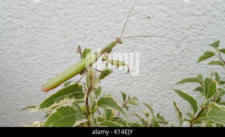 Gottesanbeterin, Insekt des Jahres 2017 - Stock Photo