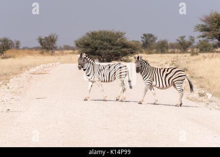 Two Burchells zebras, Equus quagga burchellii, crossing a road in Northern Namibia. One zebra is pregnant - Stock Photo