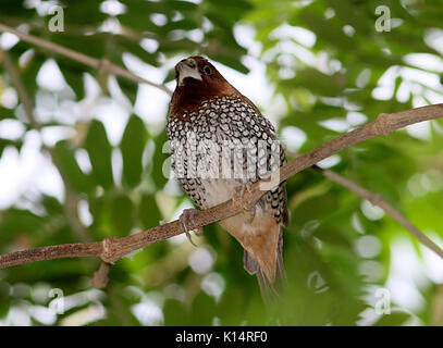 Male South East Asian scaly-breasted munia or spotted munia (Lonchura punctulata), a.k.a Nutmeg mannikin or spice - Stock Photo