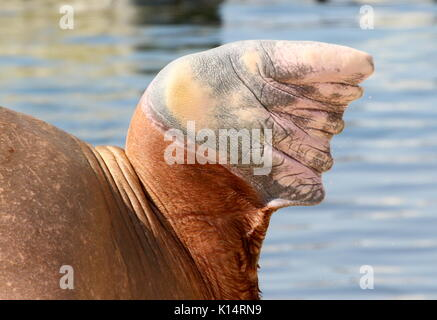 Flipper of a Pacific Walrus (Odobenus rosmarus) - Stock Photo