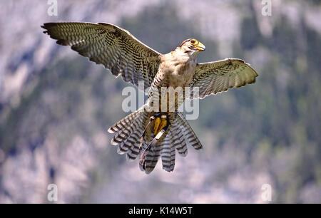 Merlin in flight with wings spread - Stock Photo