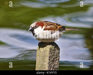 House sparrow perched on a fence post with a running stream in the background - Stock Photo