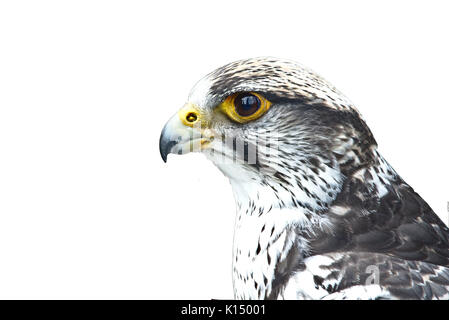 Closeup portrait of a gyrfalcon isolated on white background - Stock Photo