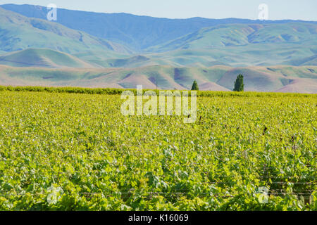 Green vineyard with mountain behind near Carrizo Plain in Spring at California, U.S.A. - Stock Photo