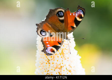 broken damaged butterfly wing - European Peacock butterfly - Stock Photo