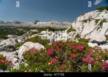 Bewimperte Alpenrose (Rhododendron hirsutum),  Dachsteingebirge, Salzkammergut,  Österreich   |  Rhododendron hirsutum, - Stock Photo