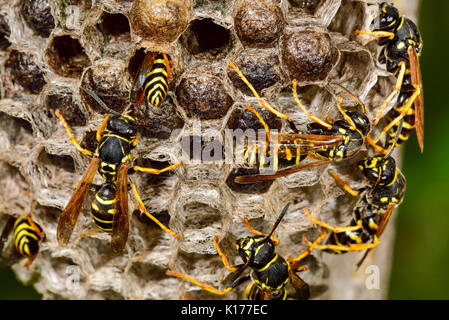 Common wasp - Stock Photo