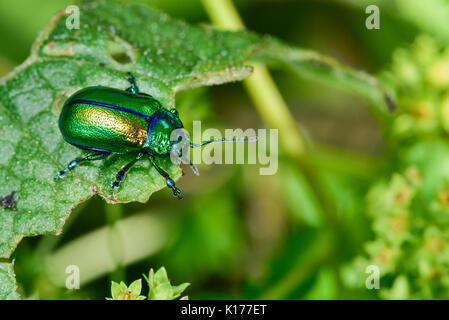 Oreina cacaliae(?) - Stock Photo