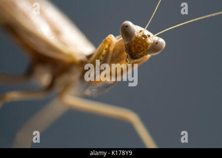Sight of a mantis - portrait of an insect - Stock Photo