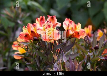 Alstroemeria Indian Summer 'Tesronto' flowers in the garden. - Stock Photo