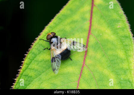 pellucid hoverfly also known as Large Pied-hoverfly  - volucella pellucens - female - Stock Photo