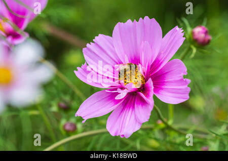 Mexican Aster, AKA Cosmos bipinnatus 'Sensation Mixed' (Sensation series) in Summer with a bee pollinating, in West - Stock Photo