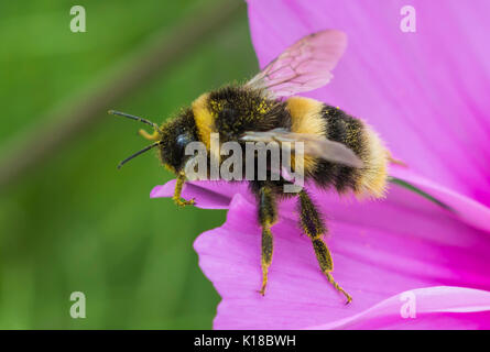Bombus terrestris (Buff Tailed Bumblebee) macro, on a pink Cosmos bipinnatus flower in Summer in West Sussex, UK. - Stock Photo