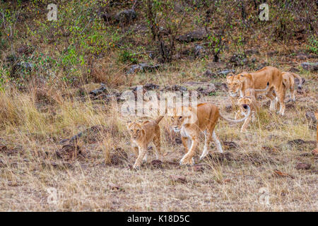 Family of Mara lions (Panthera leo|), two female lionesses and four cubs walking in the savannah of the Masai Mara, - Stock Photo