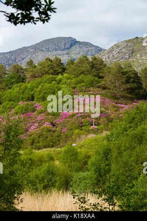 Scottish landscape with masses of wild rhododendrons, Rhododendron ponticum, invasive weed species, flowering with - Stock Photo