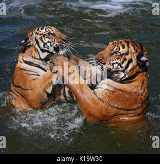 Closeup portrait of two Indo-Chinese Tigers, playing in the lake in the Buddhist Tiger Temple, Kanchanaburi, Thailand - Stock Photo