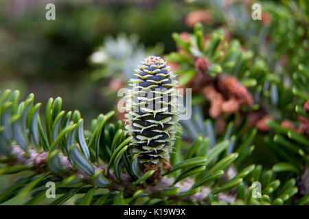 Rare conifers: Korean fir. Cones of the fir. Macro. - Stock Photo