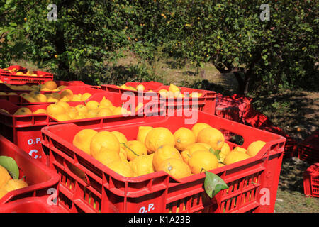 Sicily, orange trees and boxes of picked oranges, harvest time - Stock Photo