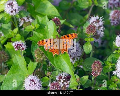 Comma Butterfly Polygonia c-album on fleabane - Stock Photo