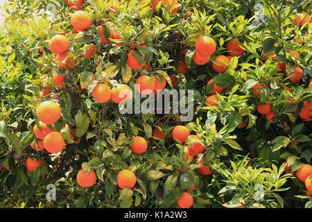 Ripe orange fruits on a tree - Stock Photo