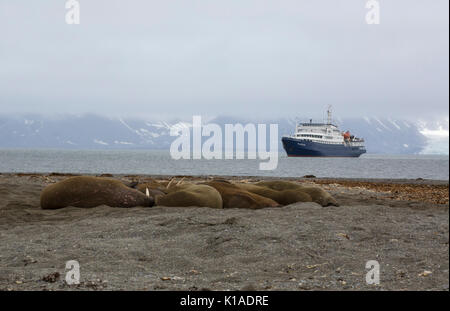 Walruses, Odobenus rosmarus, group of adults sleeping on beach with cruise ship in background. Taken in June, Spitsbergen, - Stock Photo