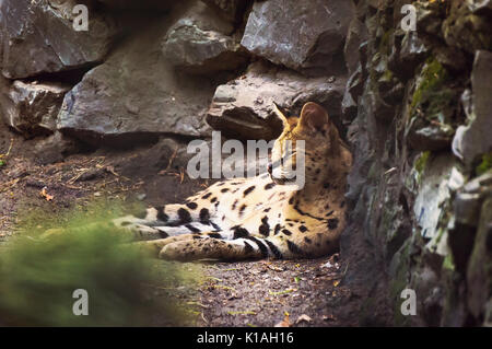 Ocelot is a carnivorous mammal of the cat family that live in America. Ocelot is widespread in Central America, - Stock Photo