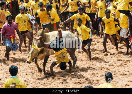 Jallikattu (Bull Taming Festival) celebrated across Tamilnadu as part of the cultural celebration. - Stock Photo