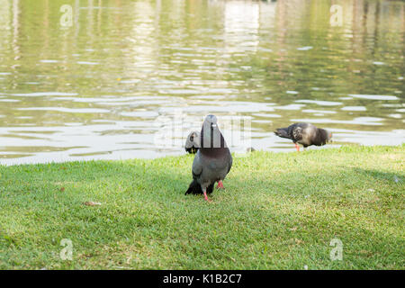 Grey pigeons bird is walking in the garden - Stock Photo