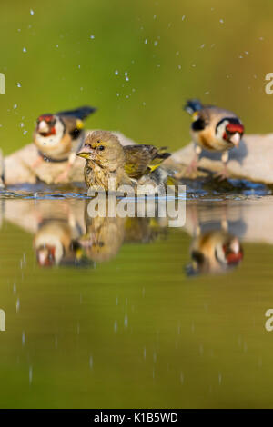 European greenfinch Carduelis chloris, female, and two European goldfinch Carduelis carduelis, at woodland pool, - Stock Photo