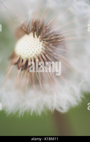 close up macro photograph of a dandelion in summer - Stock Photo