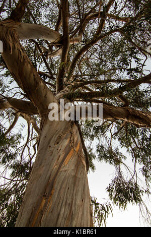 Big  eucalyptus trunk and branches  seen from below - Stock Photo