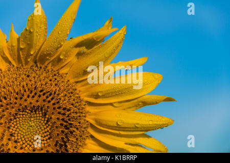 Field of sunflowers on a rural farm at dawn - Stock Photo