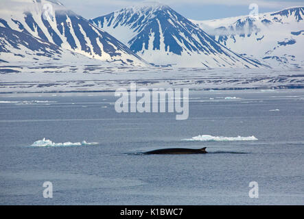 Fin Whale, Balaenoptera physalus, single adult swimming against back drop of snow covered mountains. Taken in June, - Stock Photo